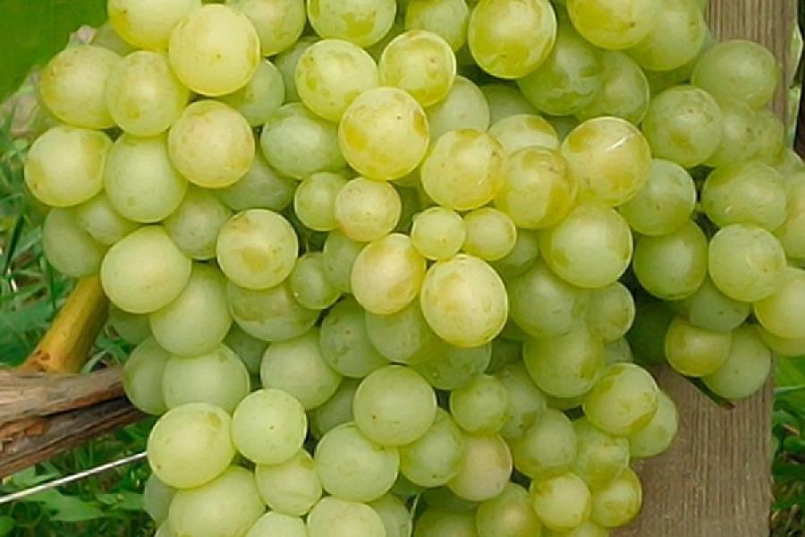Саженцы винограда Восторг ранний