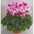 Растение Цикламен Персидский D15 H35