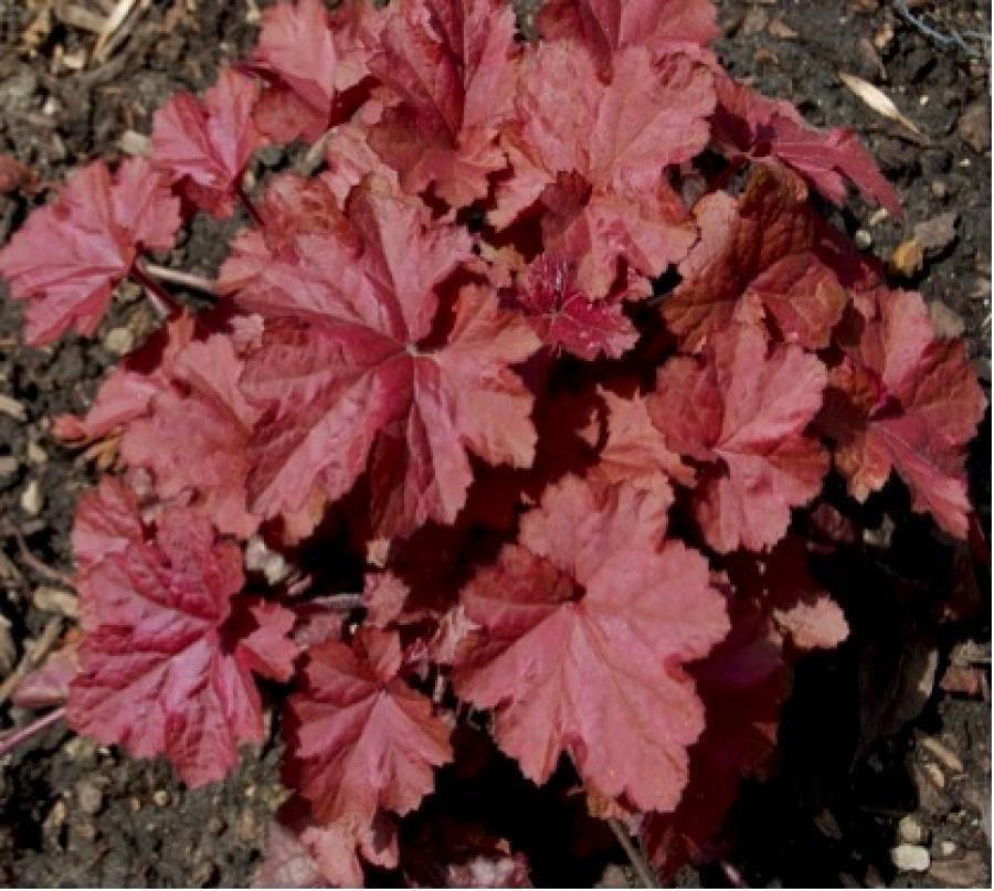 Цветы многолетние - Гейхера гибридная Beaujolais