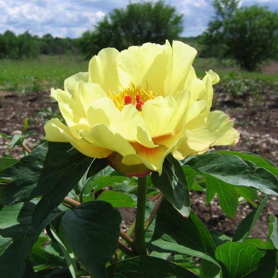 Цветы многолетние - Пион видовой Sunshine