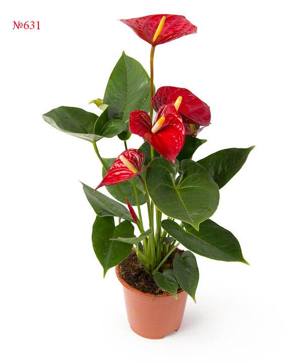 """Горшечное растение """"Гардемарин"""""""