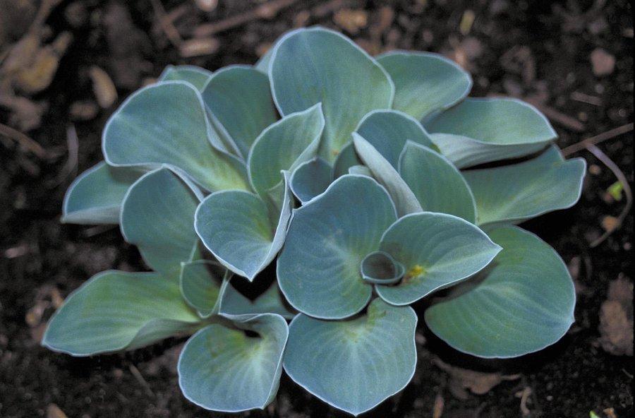 Цветы многолетние - Хоста гибридная Blue Mouse Ears