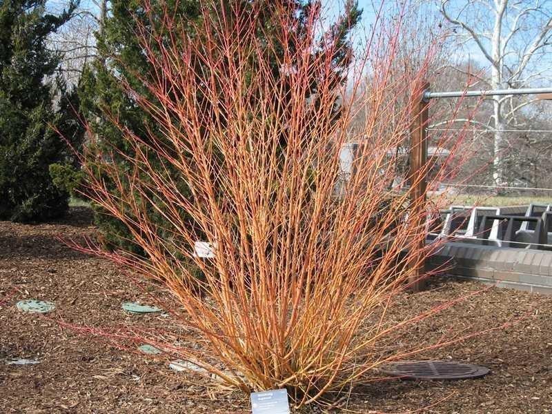 Кустарники лиственные - Дерен (Свидина) кроваво-красный Winter Beauty