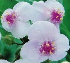 Цветы многолетние - Традесканция Андерсона Temptation