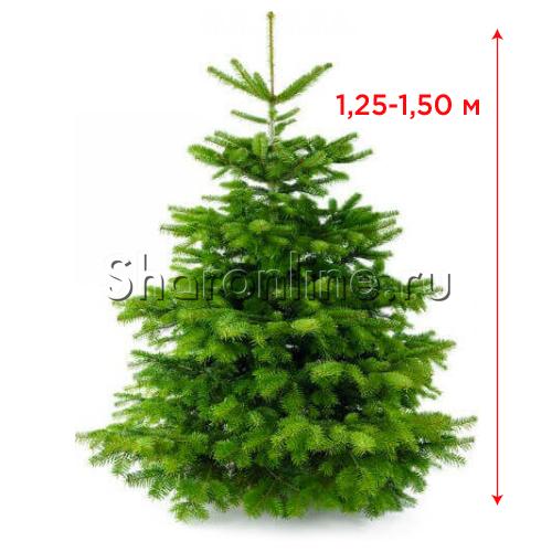 Датская живая ель (елка) 1,25 м-1,50 м