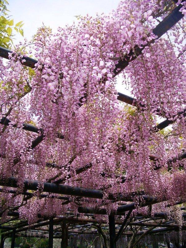 Глициния розовая Wisteria rosea (70см)