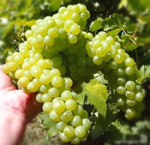 Саженцы винограда Кишмиш белый