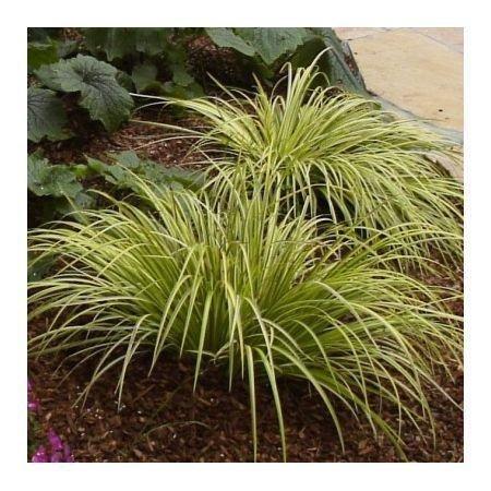 Цветы многолетние - Аир (Ирный корень) злаковидный Variegata