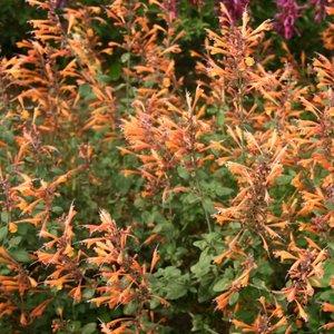 Цветы многолетние - Агастахис Оранжевый