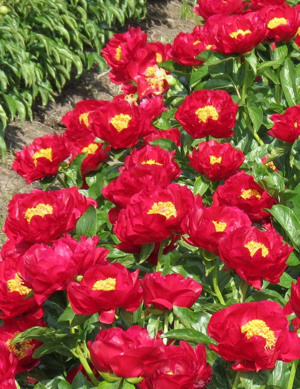Цветы многолетние - Пион гибридный Mackinac Grand