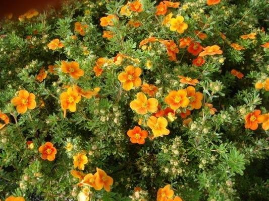 Кустарники лиственные - Лапчатка кустарниковая Hopleys Orange