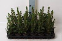 Канадская ель Коника (35 см)