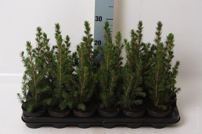 Канадская ель Коника (25 см)