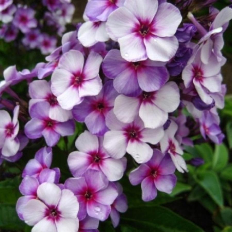 Цветы многолетние - Флокс метельчатый Swirley Birly