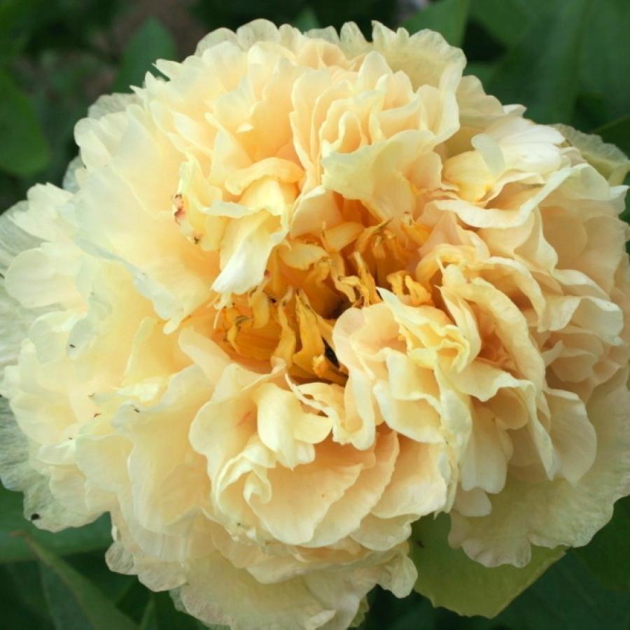 Цветы многолетние - Пион молочноцветковый Sunny Girl