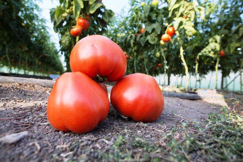 Сорта индетерминантных томатов, выращиваемые в теплице