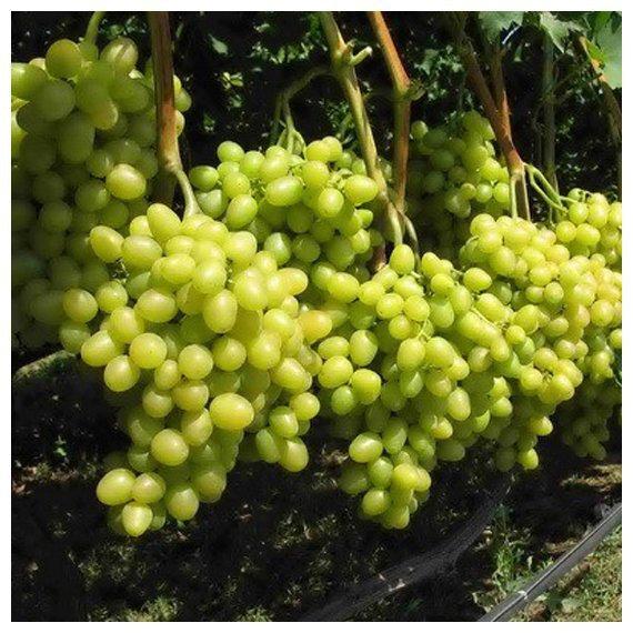 виноград плодовый аркадия очень ранний, яйцевидный, белый, крупный