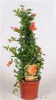 Гранат комнатный Punica granatum (45=50)