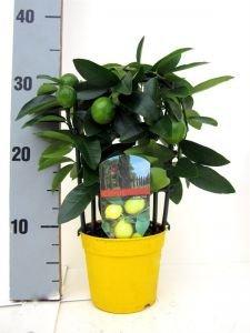 Лимонное дерево (200 см с плодами)