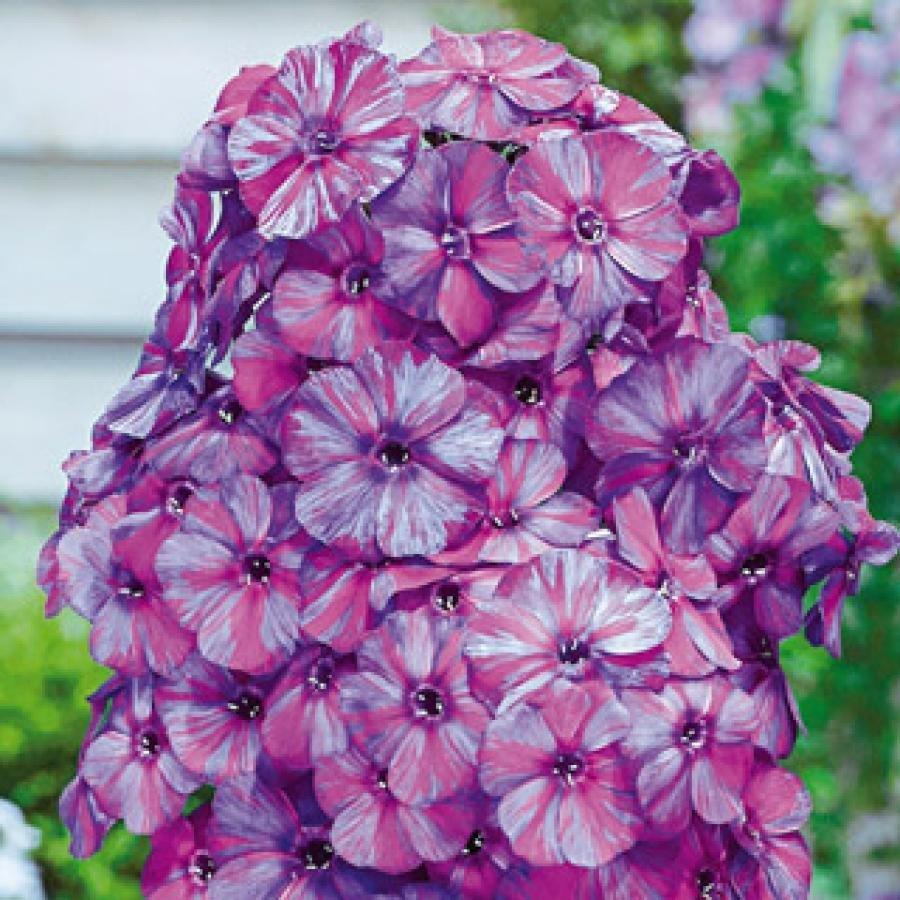 Цветы многолетние - Флокс метельчатый Autumn Joy