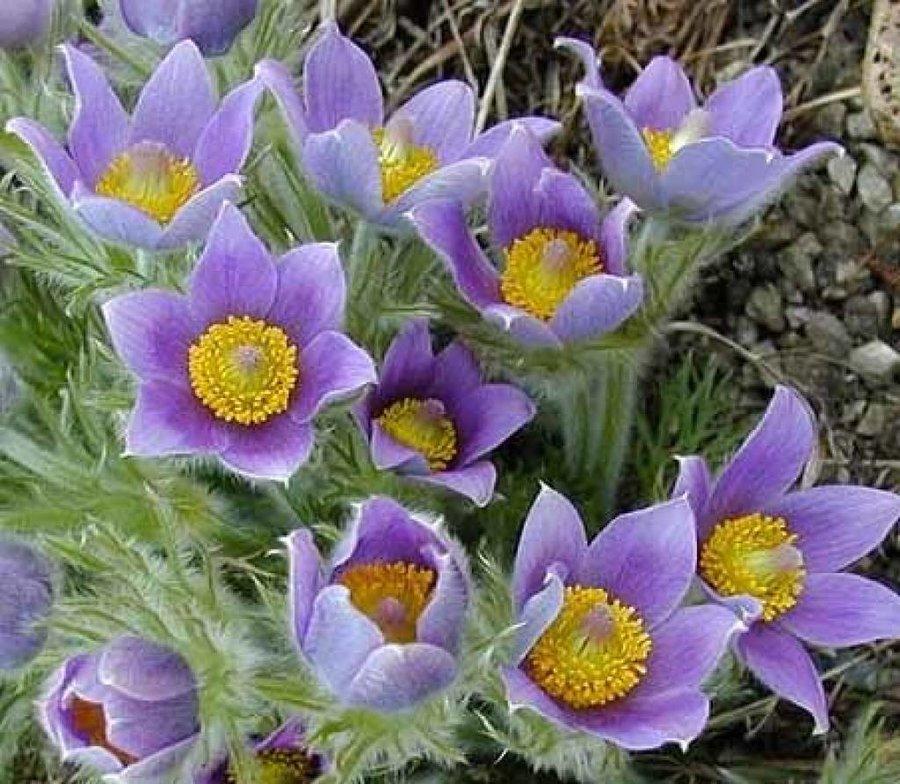 Цветы многолетние - Прострел (сон-трава) обыкновенный Violet