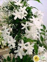 Комнатный цветок жасмин полиантовый (30 см)