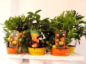 Два цитрусовых дерева лимон и мандарин