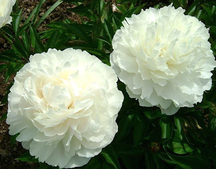 Цветы многолетние - Пион молочноцветковый Elsa Sass