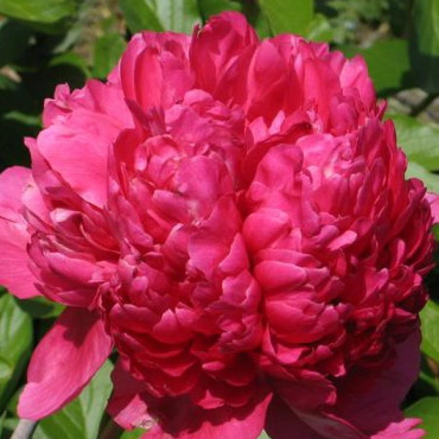 Цветы многолетние - Пион молочноцветковый Command performance