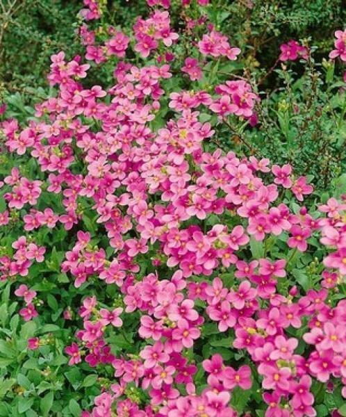 Цветы многолетние - Арабис (резуха) реснитчатолистный Rose Delight