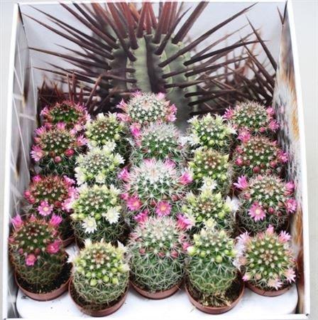 Кактус цветущий Маммиллярия – Mammillaria (5 см)
