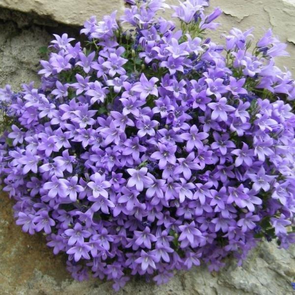 Цветы многолетние - Колокольчик Портеншлага Clockwise