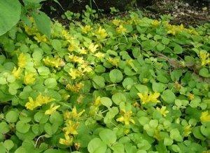 Цветы многолетние - Вербейник (завальная трава) монетчатый