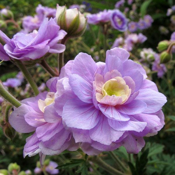 Цветы многолетние - Герань (Аистов клюв) луговая Summer Skies