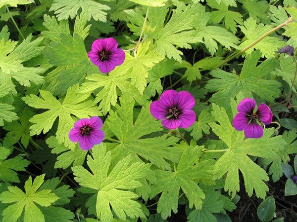 Цветы многолетние - Герань гибридная Ann Folkard