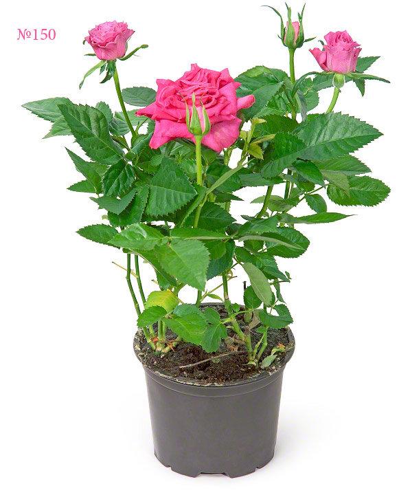"""Горшечное растение """"Ваше высочество"""""""