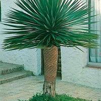 Семена Драцена Драконово дерево