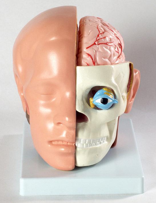Набор для исследований Нескучные игры Голова человека с