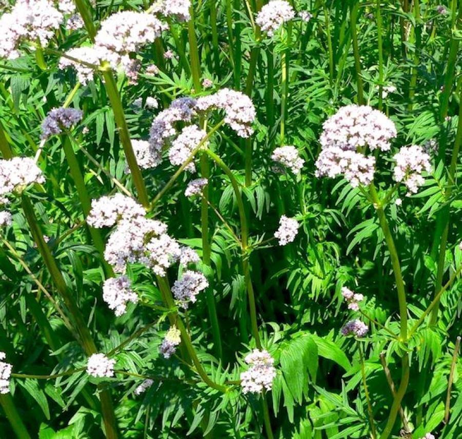 Цветы многолетние - Валериана (Кошачья трава) Лекарственная