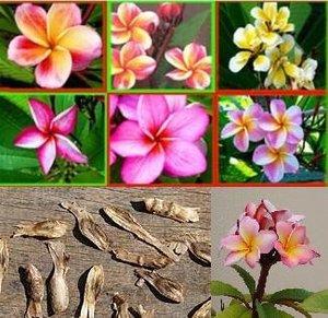 Плюмерия 10 семян без разбора по сортам,комнатные горшечные цветы