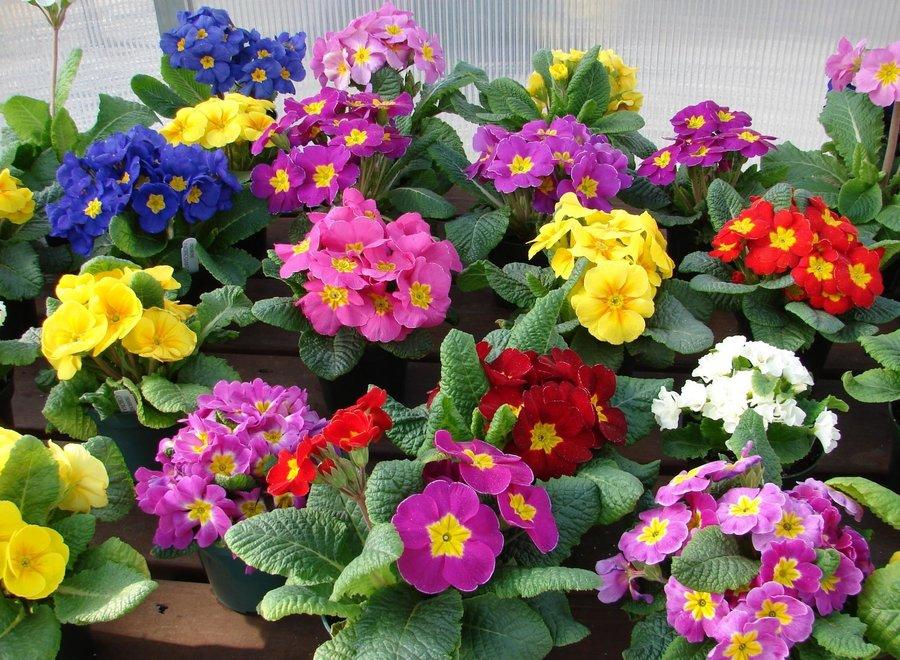 Цветы многолетние - Примула (Первоцвет) пушистая