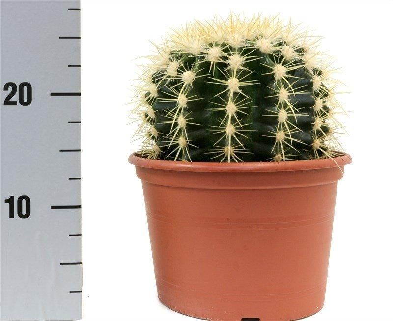 Эхинокактус (10 см)