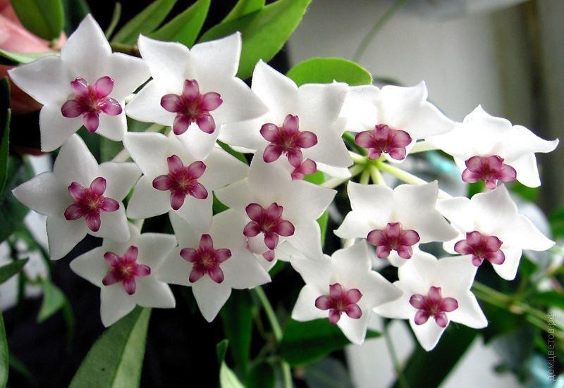 Комнатный цветок Хойя прекрасная