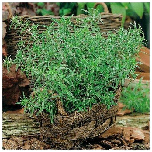 Семена Орешка Чабер огородный бриз 100 шт.