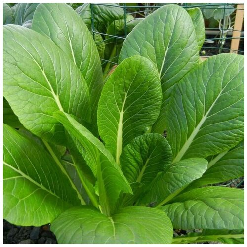 Семена Орешка Горчица салатная Ладушка 50 шт. семена горчица салатная частушка 0 5 г
