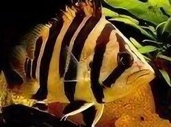 Аквариумные рыбки - Сиамский окунь, 0