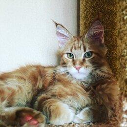 Кошки - Кошечка породы Мейн Кун, 0