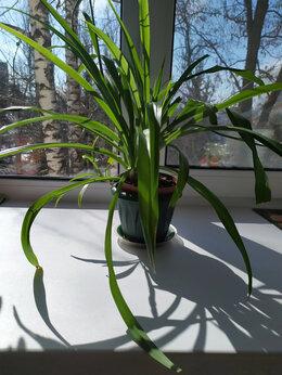 Комнатные растения - Хлорофитум, 0