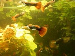Аквариумные рыбки - Гуппи берлинские, 0