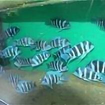Аквариумные рыбки - Фронтозики, 0